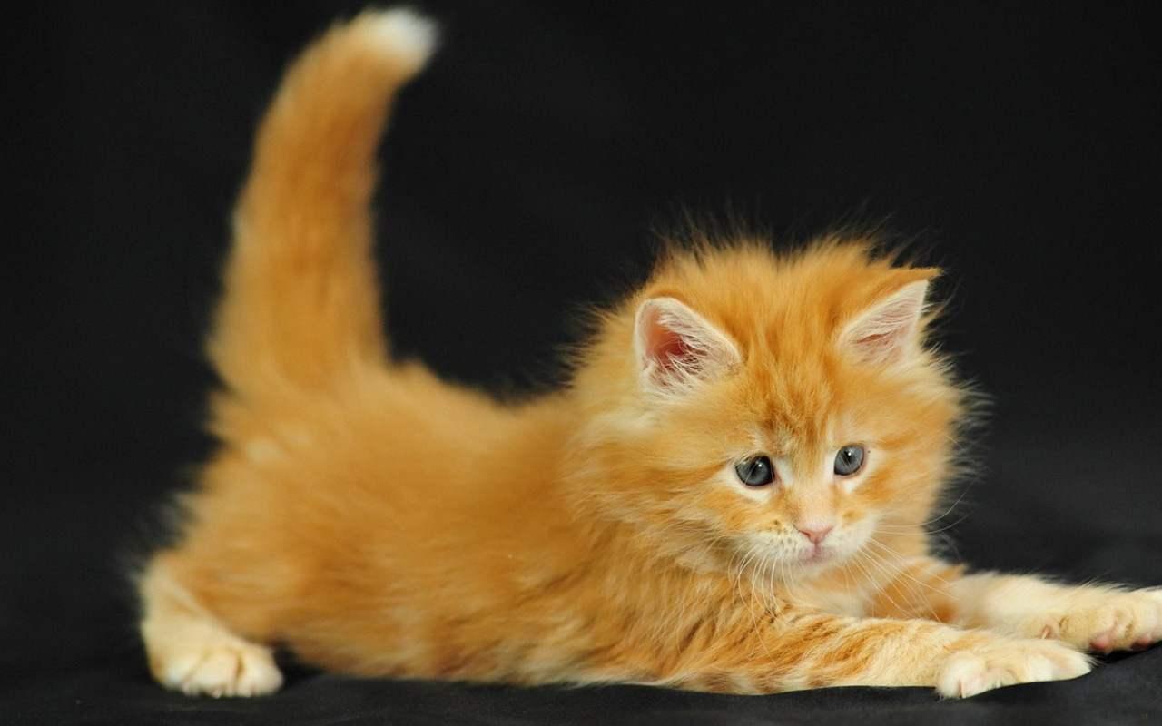 Free Stock Photo of Cute orange kitten Online | Download ...  |Fluffy Orange Kittens