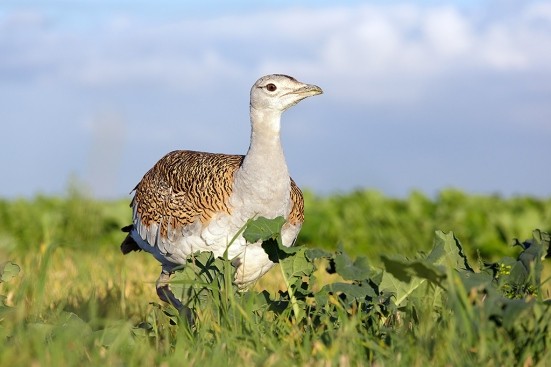 Great-Bustard-318