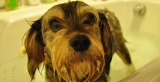 The Hair Of The Dog: on baths, grooming and doggie haircuts
